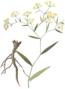 chai.hu.med Chai Hu (Rx. Bupleurum) and Interferon